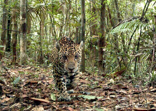 jaguar-amazon-peru_9934_600x450